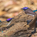 Image: Resident breeder male purple-crowned fairy-wren investigating a 3D-printed model representing a male intruder in nuptial plumage in his territory. Credit: Laurent Lermusiaux/AWC.