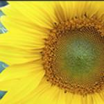 Image: Sunflower